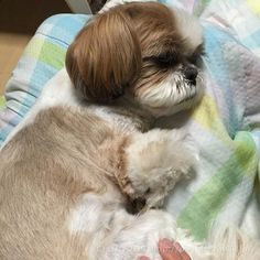 Shih Tzu naptime