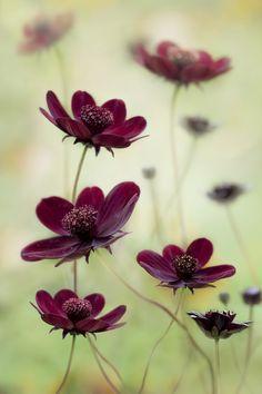 Chocolade Cosmos (Cosmea atrosanguinea). Een bloem met een bijzondere donkere kleur en een lichte chocoladegeur! ...