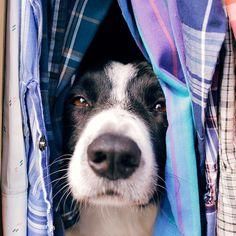 This website is adorable. #findmomo the hiding border collie gofindmomo.com