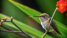 Hummingbird, Bird, Wallpaper