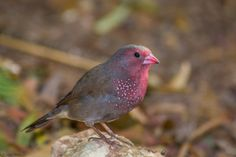 Brown Firefinch (Lagonosticta nitidula) by Brendon White