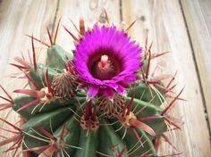Ferocactus latispinus . . .