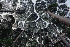 "The canopies of these trees don't ever touch eachother, it's a natural phenomenon called ""crown shyness"" - Imgur"