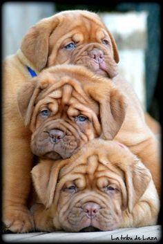 Dogue de Bordeaux // KaufmannsPuppyTraining.com // Kaufmann's Puppy Training // dog training // dog love // puppy love //