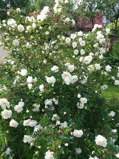 Finnish rose