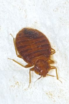 How to Tell if You Have Bed Bugs or Fleas | Terminix Blog