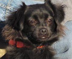 Petango.com – Meet Monique, a 2 years Spaniel / Mix available for adoption in WENATCHEE, WA