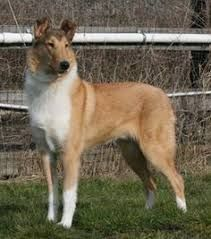 Image result for smooth collie