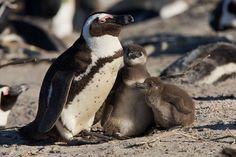 פינגווין בדרום אפריקה   דני לרדו