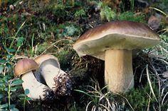 Tunnistustehtävä: Oppitori: Sienet, helppoja lajeja Environmental Science, Science And Nature, Deli, Flora, Stuffed Mushrooms, Beautiful Things, Boletus Edulis, Mushroom, Mushrooms
