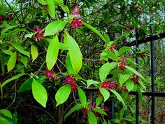 Plant Native: Florida Anise: Small Tree for the Shade Garden
