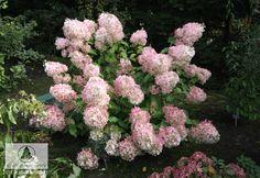 Hydrangea Paniculata, Pearls, Beads, Beading, Pearl