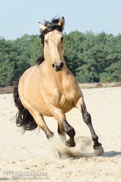 I want a horse like this because the coloring is so unique and beautiful