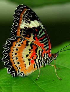 Leopard Lacewing @@