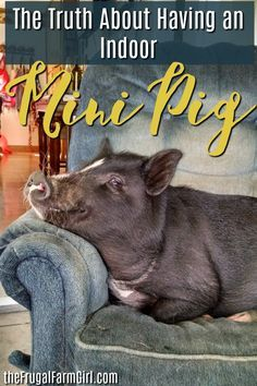I had no idea about raising a mini pig indoors. When a pig is living in your house it is challenging and rewarding. Here's what I learned. #pigs #pig #minipig #potbelly #pet #indoor #tips #train #micro #farm #farmlife Pet Pigs, Baby Pigs, Micro Mini Pig, Micro Farm, Mini Pig Food, Mini Potbelly Pigs, Juliana Pigs, Pig Showing, Pot Belly Pigs