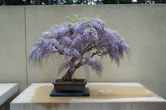 Lavender Wisteria bonsai, are you kidding me that is so beautiful~
