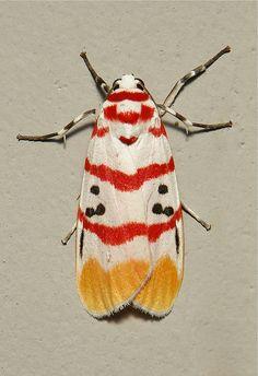 Arctiid Moth (Cyana bellissima, Lithosiini, Arctiinae, Erebidae) by Sinobug (itchydogimages) on Flickr. Pu'er, Yunnan, China