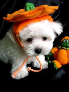 he has a pumpkin hat