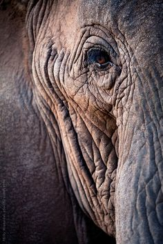 Elephant by Micky Wiswedel - Stocksy United Elephant Eye, Elephant Images, Elephant Canvas, Asian Elephant, Elephant Tattoos, Baby Elephant, Elephants Photos, Save The Elephants, Elephant Photography
