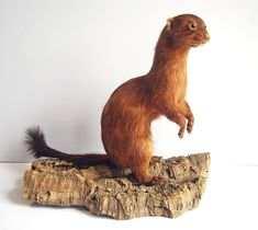 Vintage Taxidermy Weasel Red Long Tailed Big Stoat Standing Mount Life Sized Log #Unbranded #taxidermy #weasel #vintage #mancave