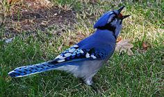 Blue jay. Photo by Elaine Mae Lavallee, The Pas, MB.