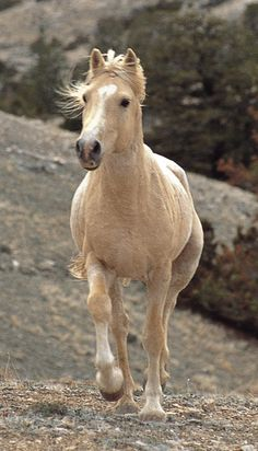 """""""Isabella"""" palomino (lightest shade of palomino). They can look almost white. They always have black skin (you can tell by the color of the nose and around the eyes) and brown eyes."""