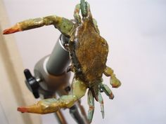 Blue crab - Realistic Fly Tying - Fly Tying
