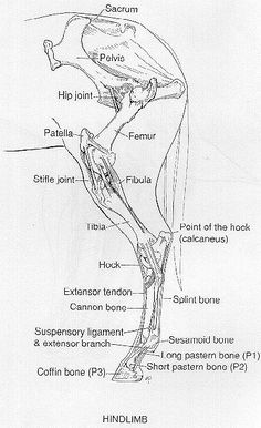 Horse anatomy: good look at stifle joint Horse Anatomy, Animal Anatomy, Leg Anatomy, Anatomy Drawing, Horse Information, Horse Care Tips, Horse Facts, Horse Camp, Animal Science