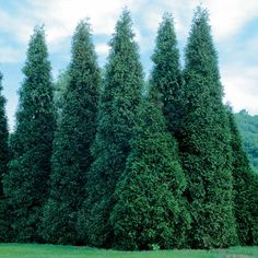 Thuja Green Giant Zone: -15 Height: 30' Width: 12' Space 5-6' apart for a quick privacy screen, can grow up to 5' per year, resistant to heavy snow, ice and winds. Drought tolerant and deer resistant.