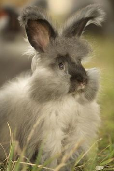 8-week-old Pippi, an English Angora from Ixchel Angora Rabbits