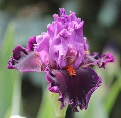 TB Iris germanica 'Ming Lord' (Blyth, 2004)