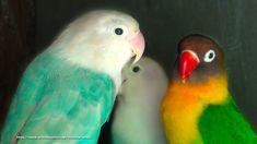 37 Best Lovebird Sounds Collection
