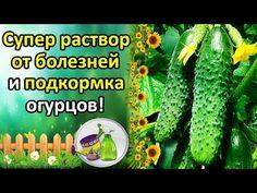 СУПЕР РАСТВОР ОТ БОЛЕЗНЕЙ ОГУРЦОВ + ПОДКОРМКА. КАК УВЕЛИЧИТЬ УРОЖАЙ И ПРОДЛИТЬ ПЛОДОНОШЕНИЕ? - YouTube Small Farm, Type 4, Diet And Nutrition, Garden Plants, Gardening Tips, Cucumber, Garden Design, Home And Garden, Vegetables
