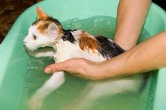 Bathing Your Cat Without Getting Clawed to Death! Simple Cat Bathing Tips!