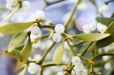 Mistletoe for Health - What You Need to Know