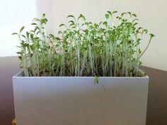 Microvegetais de agrião Life in a bag