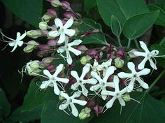 Clerodendron trichotomum - MyGardenGates