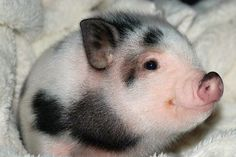 well my my.what a cute and happy piglet Funny Animal Pictures, Cute Funny Animals, Cute Baby Animals, Cute Pictures, Mini Piglets, Baby Pigs, Baby Images, Cute Pigs, Animals Beautiful