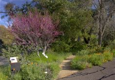 Photo of the Mary Wattis Brown Garden featuring California natives. The pink-blossomed tree is a redbud, and of course, you see our always appreciated CA poppies. (Note: lots of water-wise articles and resources on this link.)