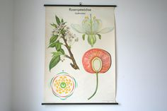 """East German GDR Vintage Science Educational Pull Down Chart Canvas Poster - """"The Rose Family - Sweet Cherry"""". €90.00, via Etsy."""