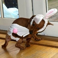 Hans, the Easter doxie: obviously not happy with being a rabbit...
