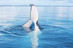 Oh, the tails you will tell: about humpbacks come to Hervey Bay to rest and play Fraser Island, The Sunday Times, Great Barrier Reef, Natural Wonders, Natural World, Whale, Sea, Nature, Animals