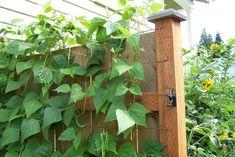 DIY trellis idea to provide delicious bounty and beautify a wooden fence as a bonus!