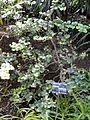 Carissa Bispinosa          Forest Num-num             Bosnoemnoem          5 m          S A no 640,2           Jardin Botanique de Lyon