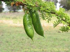 Bild von Acacia caven (Espino / Aromo). Klicken Sie, um den Ausschnitt zu vergrössern.