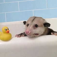 Trending GIF crying emotional i cant leave me alone bathtub trying possum my best self doubt its hard stop judging me im trying my best Animals And Pets, Baby Animals, Funny Animals, Cute Animals, Cute Creatures, Beautiful Creatures, Baby Possum, Opossum, Mundo Animal