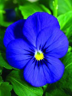 Sorbet - Penny Deep Blue