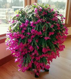 When I think of Christmas flowers, only a few plants come to mind. There is one, however, that produces stunning blooms during the holiday season. The Christmas cactus displays colorful blossoms on thick, scalloped stem Cacti And Succulents, Cactus Plants, Garden Plants, Cactus Decor, Cactus Art, Lawn And Garden, Indoor Garden, Indoor Plants, Indoor Cactus