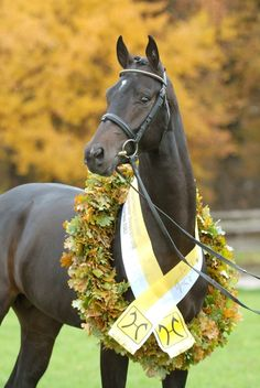 Hanoverian stallion Soliman de Hus
