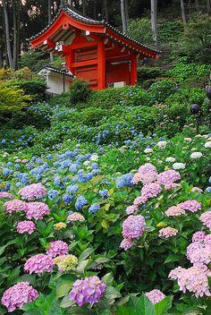 Hydrangea at Mimuroto-ji temple, Uji, Kyoto, Japan 三室戸寺 : 本日の庭園